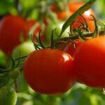 ¿Cómo regar los tomates?