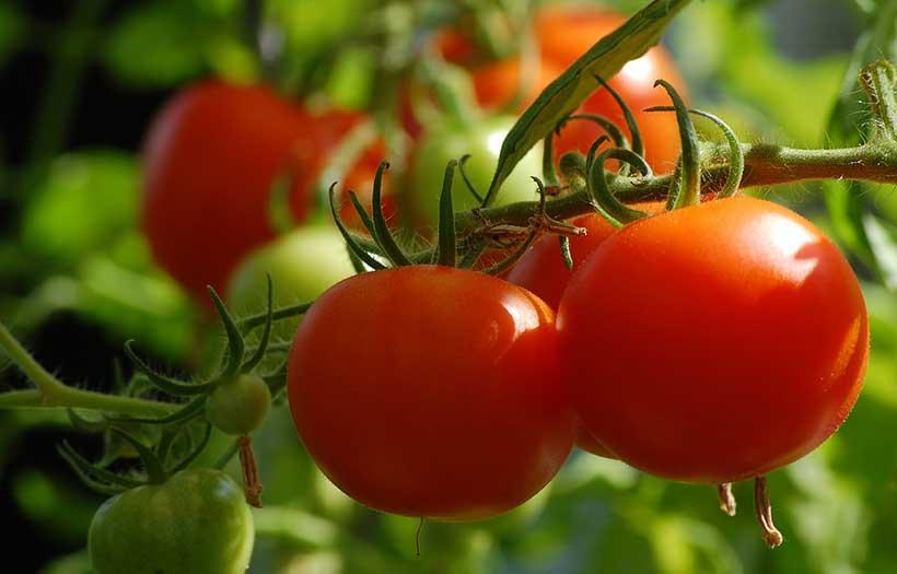 Comment Arroser les Tomates