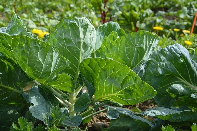 ¿Puedes comer hojas de coliflor?