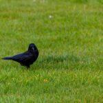 11 consejos para mantener a los cuervos alejados de tu casa