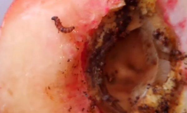 Cómo combatir los barrenadores de las ramas del melocotón (Anarsia lineatella)