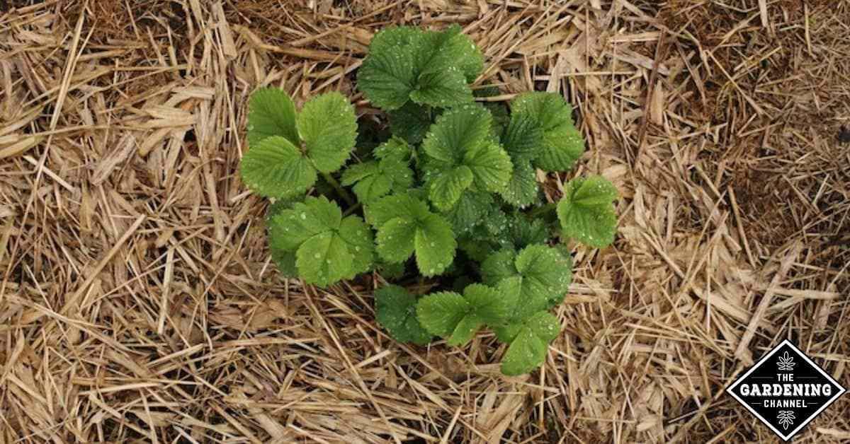 Mantillo orgánico: por qué debería usarlo en su jardín