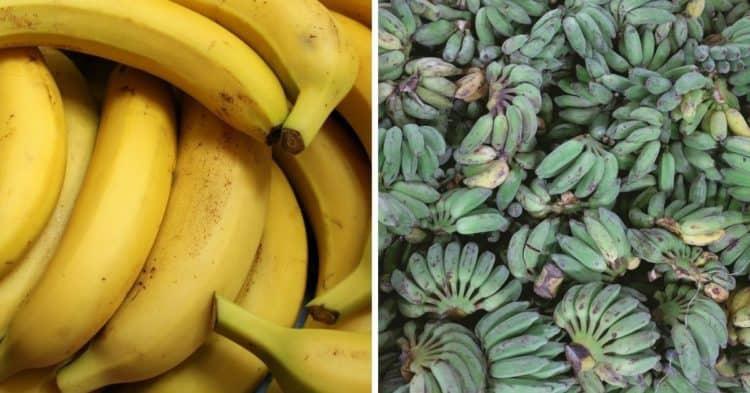 Plátano versus plátano, explicado