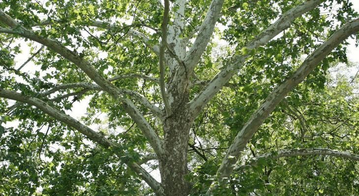 Identificación y cuidado del árbol de sicomoro