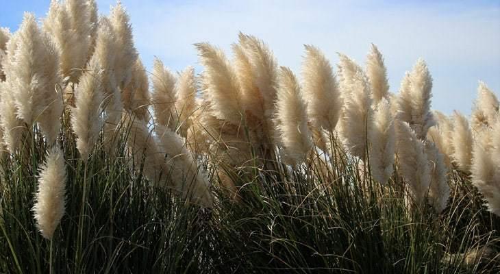 Cómo cultivar hierba de la pampa
