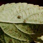 Cómo combatir los insectos de encaje