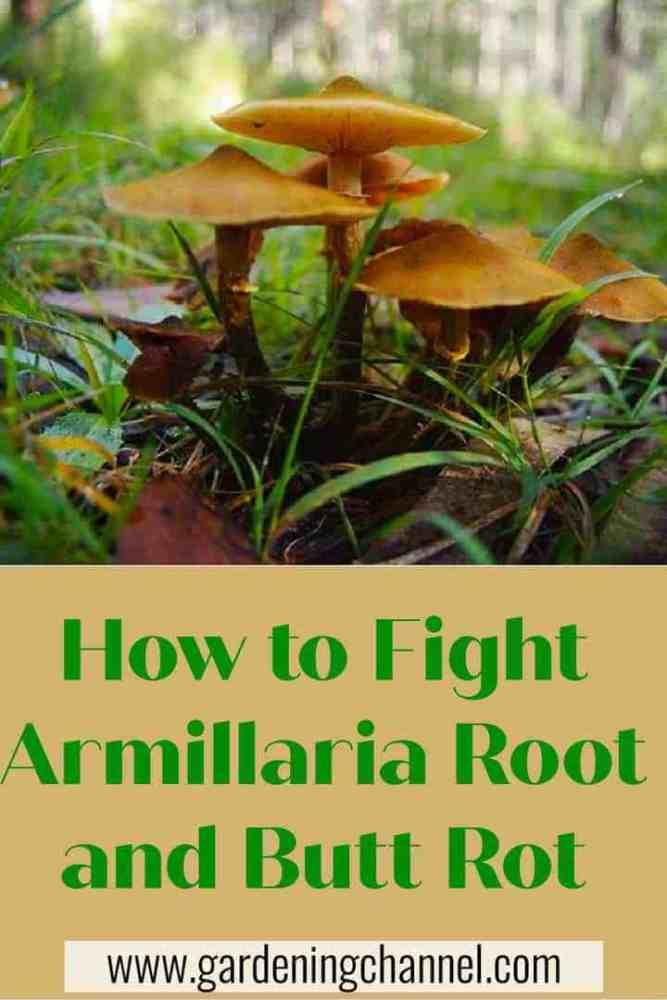 Cómo combatir la pudrición de la raíz y el trasero de Armillaria