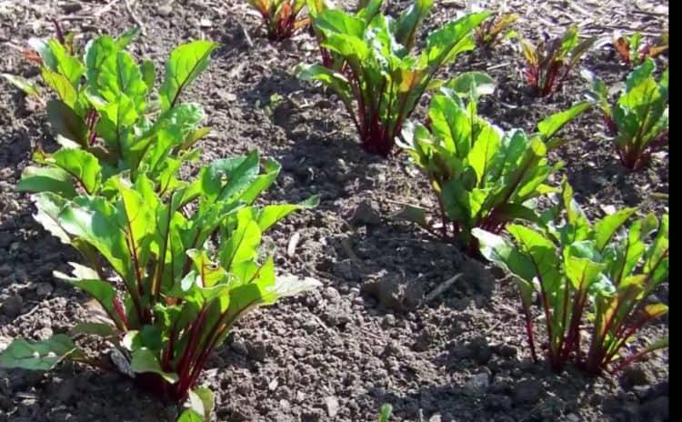 ¿Puedes dejar remolachas en el suelo durante el invierno?