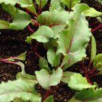 ¿Puedes cultivar remolacha en interiores?