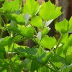 20 hierbas perennes para cultivar que se quedan