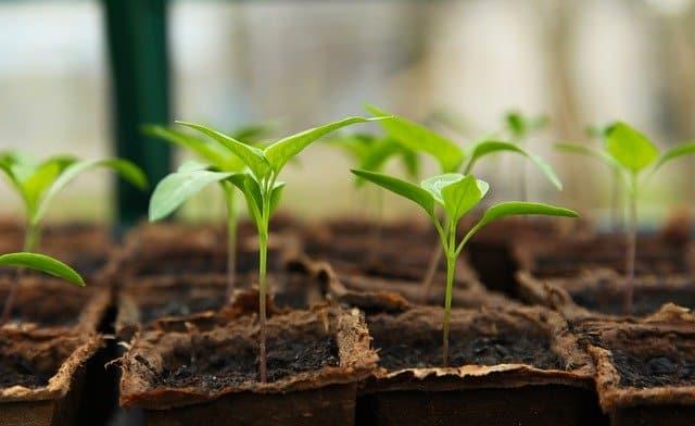 a partir de semillas en un invernadero