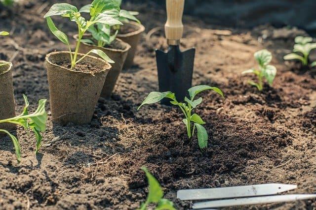 plantando pimientos en la zona 5