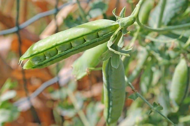 cultivo de guisantes en la zona 5