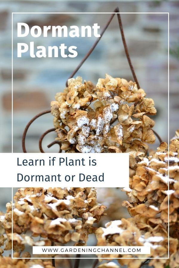 floración de hortensias secas con texto superpuesto plantas inactivas saber si la planta está inactiva o muerta