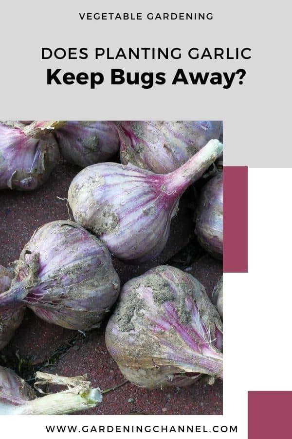 ajo cosechado con texto superpuesto horticultura ¿Sembrar ajo mantiene alejados a los insectos?