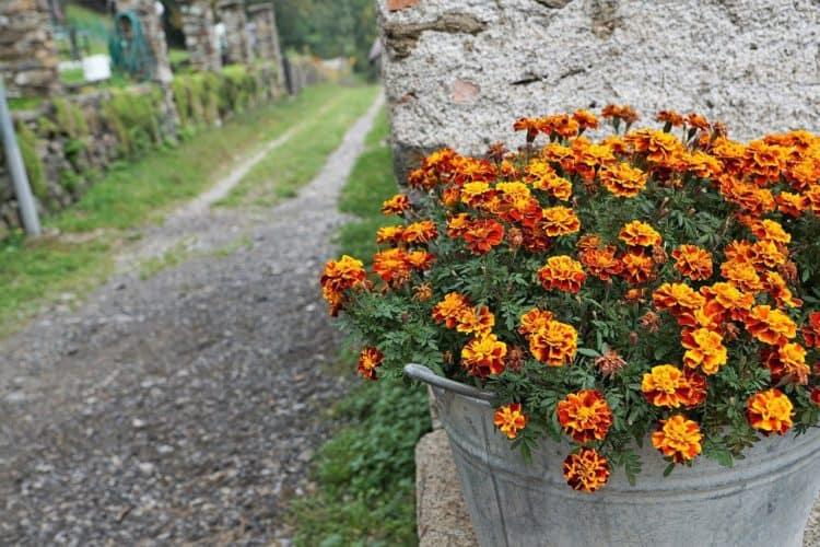 10 consejos para cultivar flores de caléndula