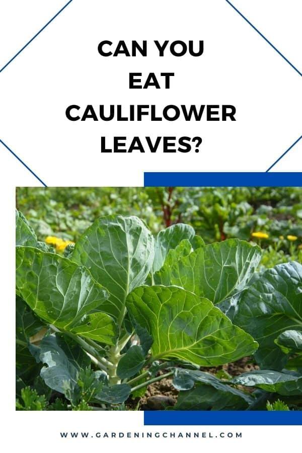 coliflor que crece en el jardín con superposición de texto ¿Puedes comer hojas de coliflor?