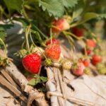 Las 5 mejores variedades de fresa para cultivar