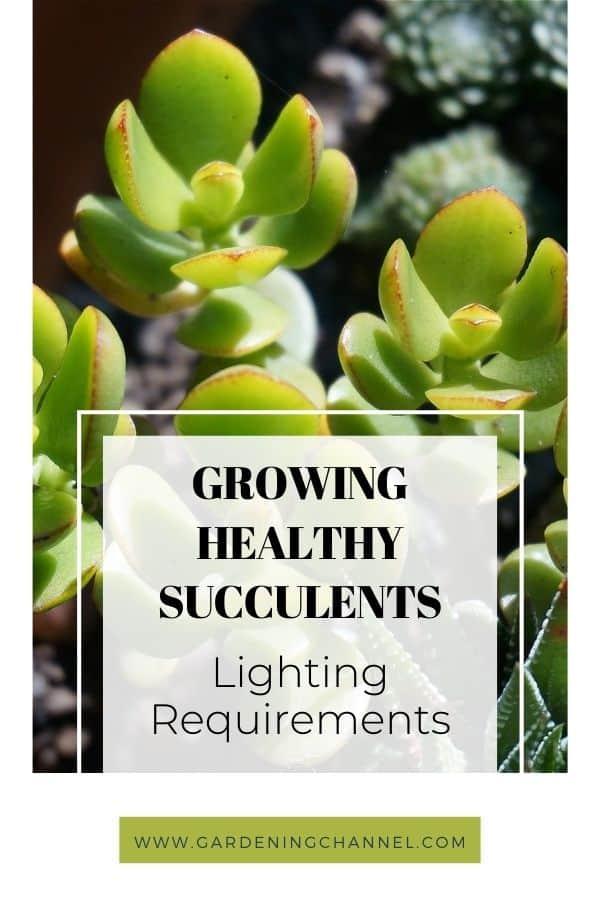 Planta de jade a la luz del sol con superposición de texto crecientes requisitos de iluminación de suculentas saludables