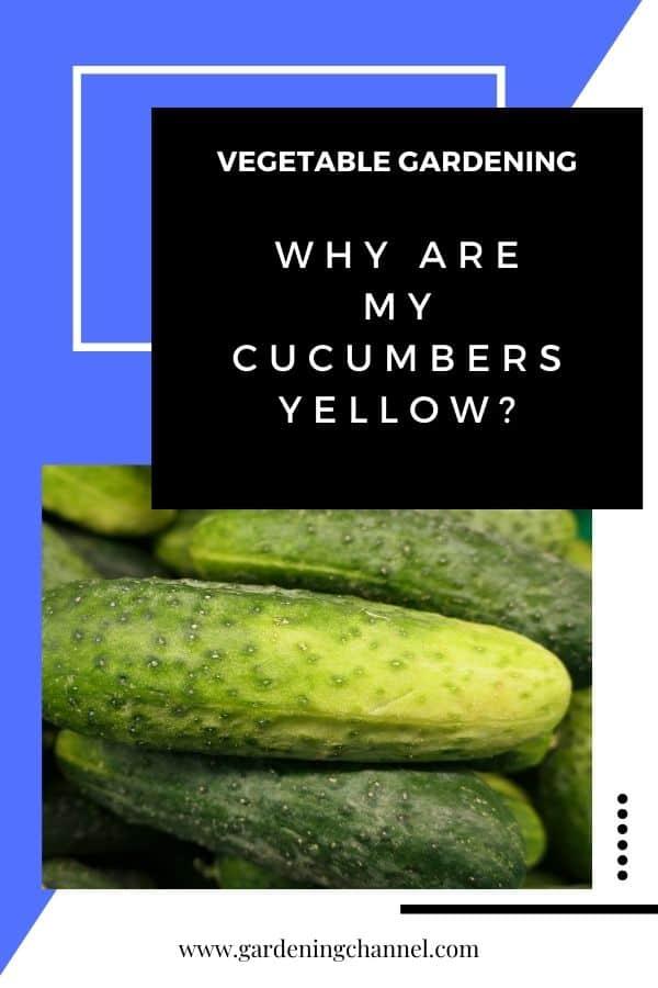 pepinos amarillos con texto superpuesto horticultura ¿Por qué mis pepinos son amarillos?