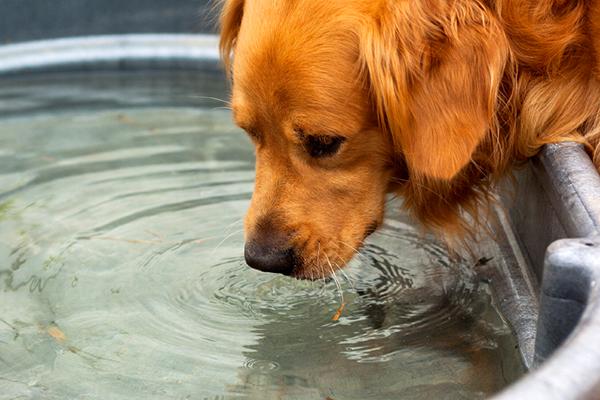 Agua potable de Golden Retriever