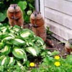 9 consejos para mantener a las marmotas alejadas del jardín
