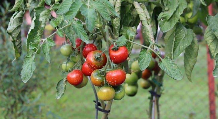 Cómo lidiar con los insectos y las enfermedades del tomate
