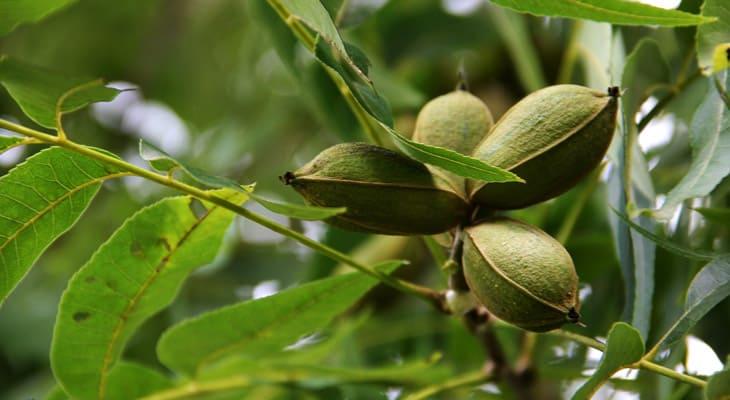 Enfermedades comunes de los árboles de nuez